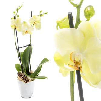 Orchidee im hellgrünen Topf mit gelben Blüten