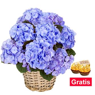 Blaue Hortensie im Weidenkorb mit 2 Ferrero Rocher